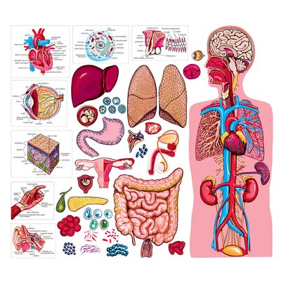 The Human Body and Anatomy Bulletin Board Cut Out LFV22312