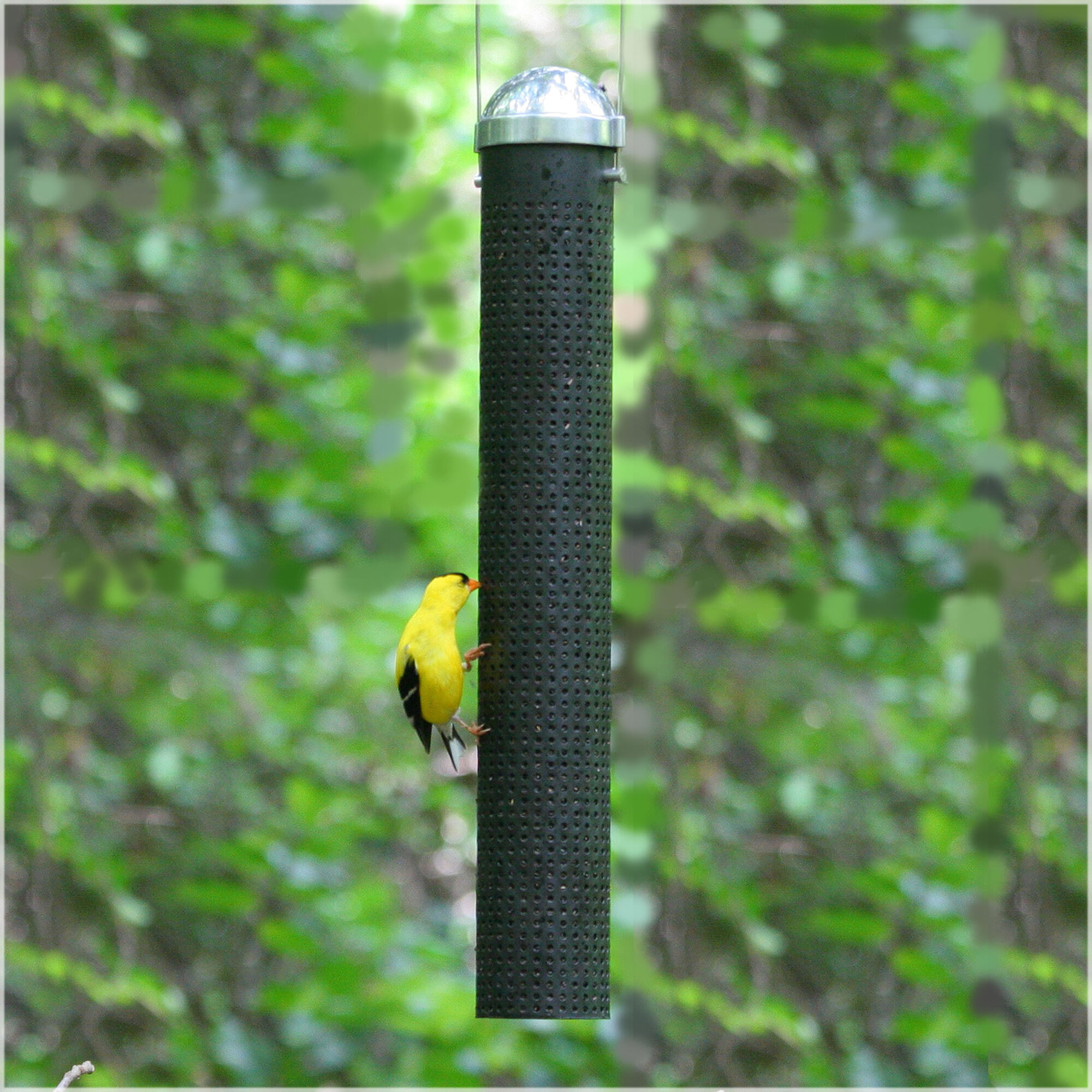 right wildlife clinging to thistle use welcome types feeders of a feeder woodpecker bird the bellied red male